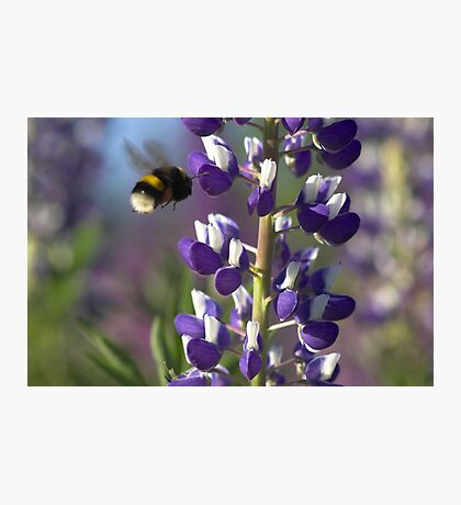 Lupin and Bumblebee  Photographic Print