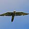 Saker Falcon by Mark Holderness
