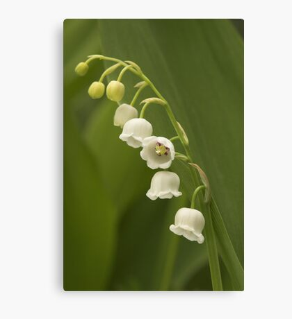 Lilly-of-the-Valley  Canvas Print