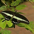 Malabar Banded Swallowtail by Robert Abraham