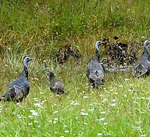 Wild Turkeys by David Lee Thompson