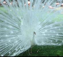 White Peacock by Kristin Nichole Hamm