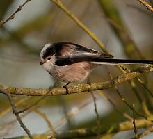 Long Tailed Tit by Minne