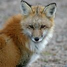 The Patient Red Fox by Vickie Emms