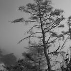 Misty Pine by pfeifferphotos