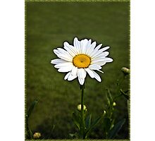 Sign of Spring Daisy in Bloom Photographic Print
