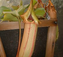 Pitcher Plant by Sheri Ann Richerson