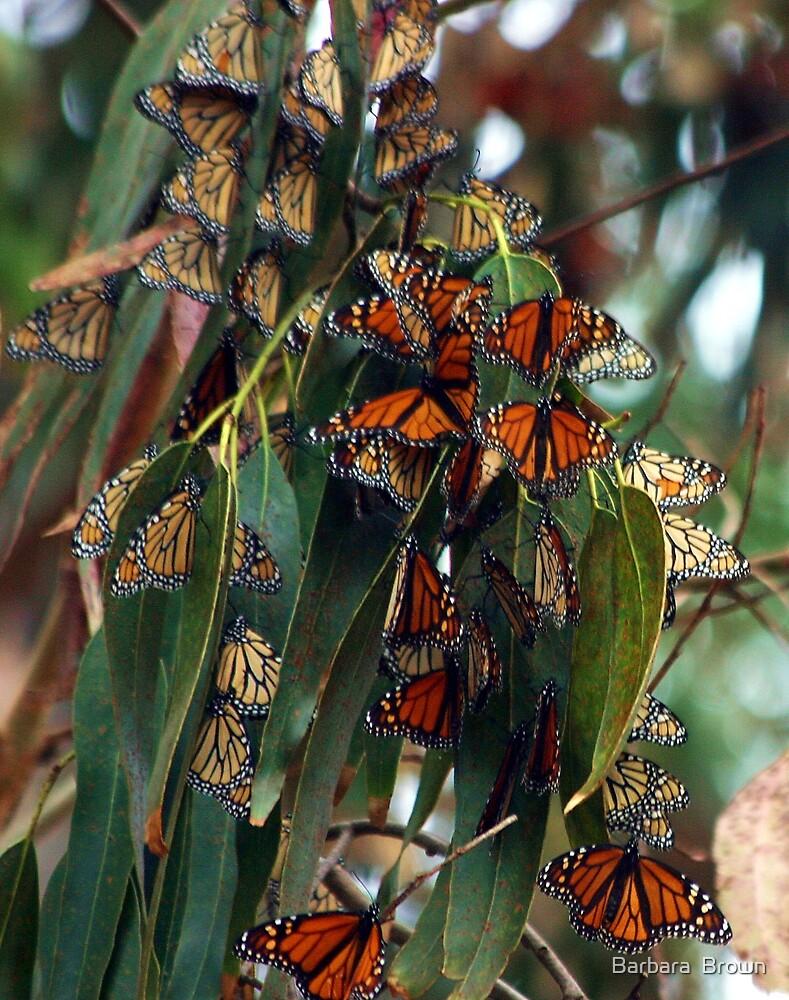 Migrating Monarchs by Barbara  Brown