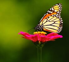 SEPTEMBER MONARCH by Gaby Swanson