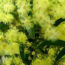 Australian Wattle by Kathie Nichols