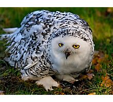 Mrs Snowy Owl Photographic Print