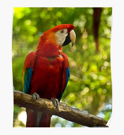 red parrot Poster
