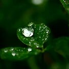 Raindrops on the Clover by Pamela Jayne Smith