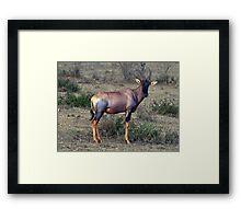 Topi Antelope  (Damaliscus korrigum) - Kenya Framed Print