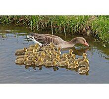 Greylag Goose Photographic Print