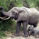 African Elephant & Calf - Tanzania, Africa by Bev Pascoe