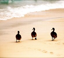 A waddle down the beach  by Nim Sharon