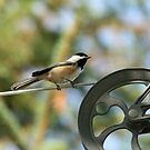 Chickadee by Isabelle Lafrance