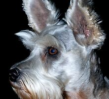 Sadie the Schnauzer by Bonnie T.  Barry
