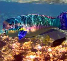 rainbow parrotfish by craig jarman