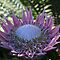 Open Protea by id4jd
