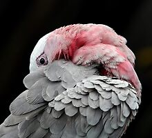 Preening by Lesley Smitheringale