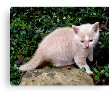 Wild Bill Kitten first outside adventures Canvas Print