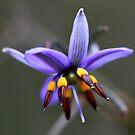 Flax Lily by margotk