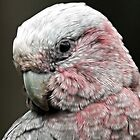 Galah Daydreams by Lesley Smitheringale