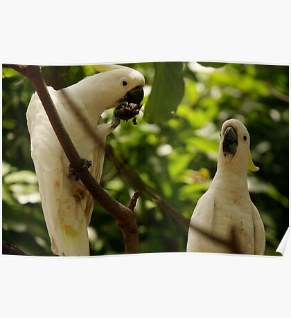 Cockatoos feeding in a tree Poster