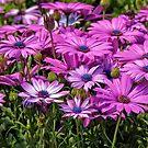 Osteospermum by PhotosByHealy