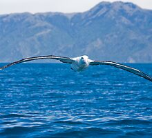 Southern Royal Albatross by Neil