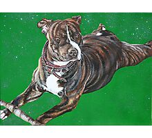 'Chaos' - The Staffordshire Bull Terrier Photographic Print