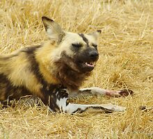 African Painted Dogs by Biggzie