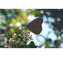 Common Brown Butterfly, Heteronympha merope Photographic Print
