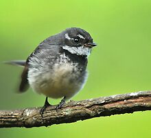 Grey Fantail by Jonathan Dael
