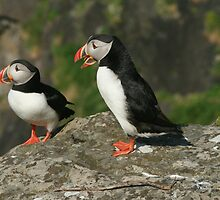 Puffin conversation by Fiona MacNab