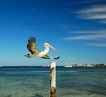 Rottnest Island Pelican by David Firth