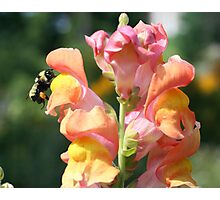 Snapdragon And Bee Photographic Print