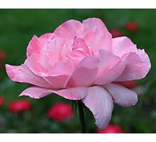 Heavenly Pink Rose Photographic Print