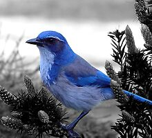 BLUE Bird by Chris Filer