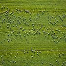 Sheep from Above by Neil