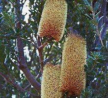 Banksia Grandis by Evita