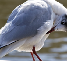 Preening Time - Black-headed Gull Sticker