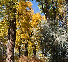 Autumn Cottonwoods by bluerabbit