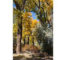 Autumn Cottonwoods Photographic Print