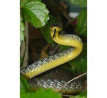 Green Tree Snake, Dendrelaphis punctulata - Threat Display Photographic Print