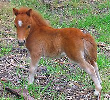 Two Week Old Miniature Pony Foal by Jenny Brice