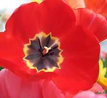 Red Tulip by Linda Jackson