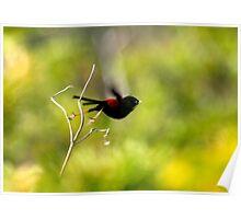 I'm off! (Red Back Fairy Wren) Poster